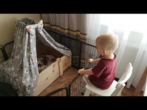 """Jack Russell Terrier - Jurassic Jack - Litter """"D"""""""