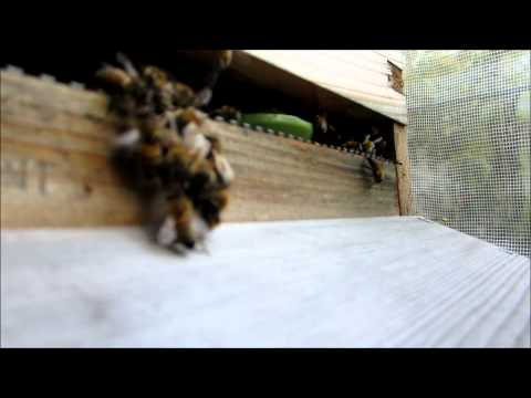 Big Fight: Bees Vs Wasps