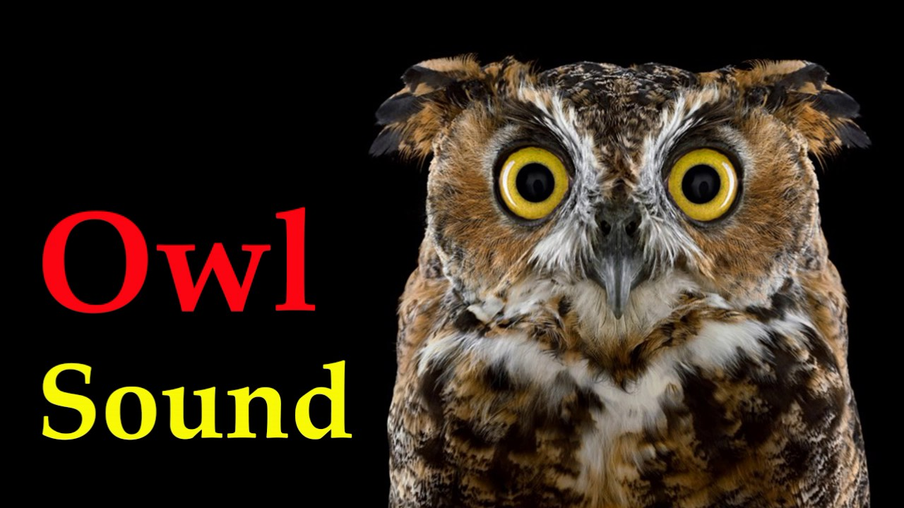 sound of owl at night - voice of bird