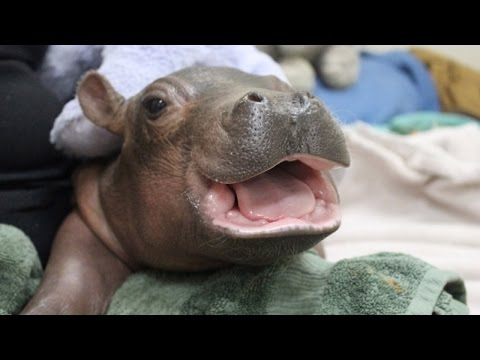 Thumbnail: Famous Baby Hippo Plays With Special Care Package From Children's Hospital