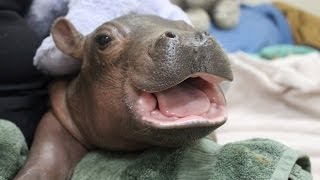 Famous Baby Hippo Plays With Special Care Package From Children