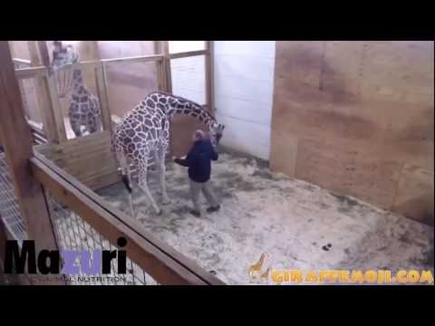 Thumbnail: April the Giraffe kicking the vet!!