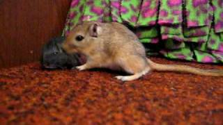 Baby gerbil gets a bath from his dad!
