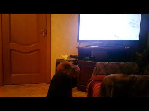 Welsh terrier intently watches TV