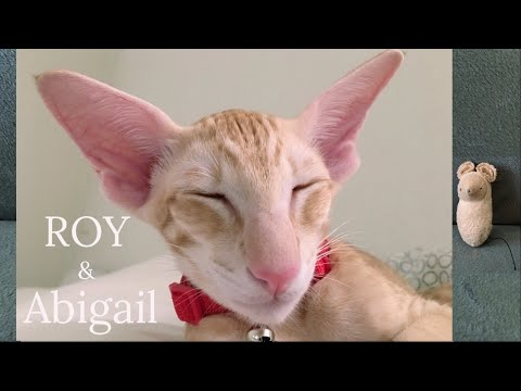 Oriental Cat Roy & Abigail Mouse. Part 1