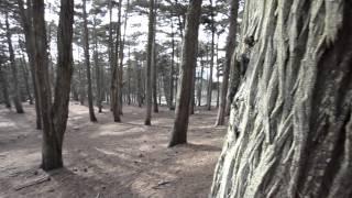 Monterey Cypress in Lobos Creek - Presidio of San Francisco