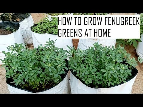 How to grow Fenugreek in container / How to grow Methi at home / Home gardening in Tamil Nadu