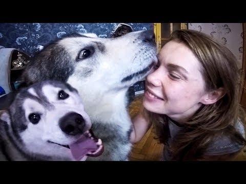 Собаки Хаски встречают хозяина после долгой разлуки