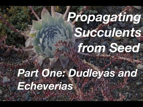 How To Start Succulents From Seeds Part One Echeverias