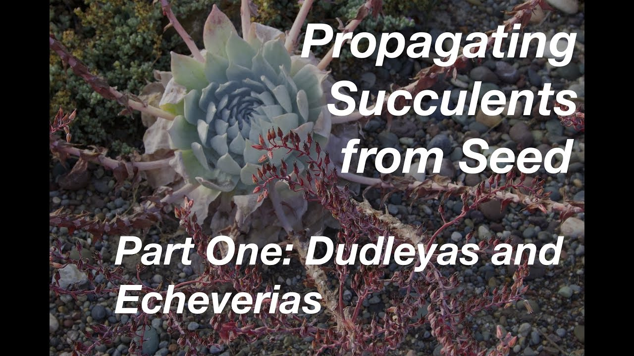 How To Start Succulents From Seeds Part One Echeverias Dudleyas