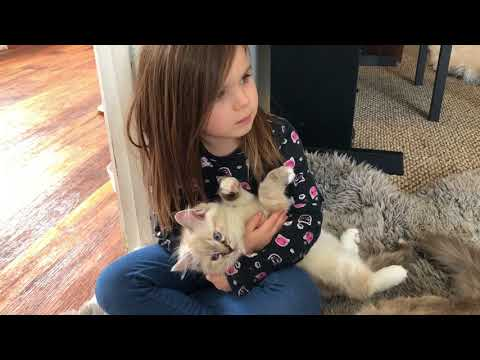 Do Ragdoll Kittens love kids?