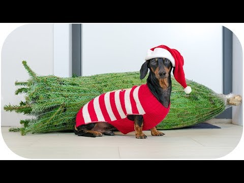 How to choose Christmas tree? Cute & funny dachshund dog video!