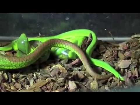 Video rắn lục đuôi đỏ sinh con