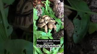 Testudo graeca ibera - Tortue grecque d'Anatolie vidéo
