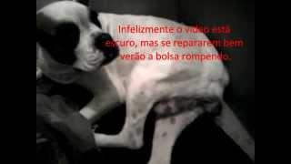 Sintomas pré parto em cadelas