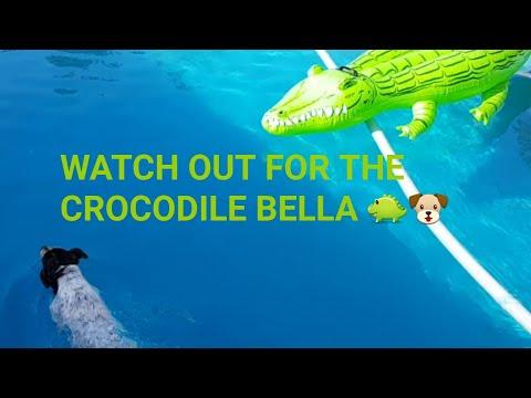 Cute dog Bella swims with a crocodile!