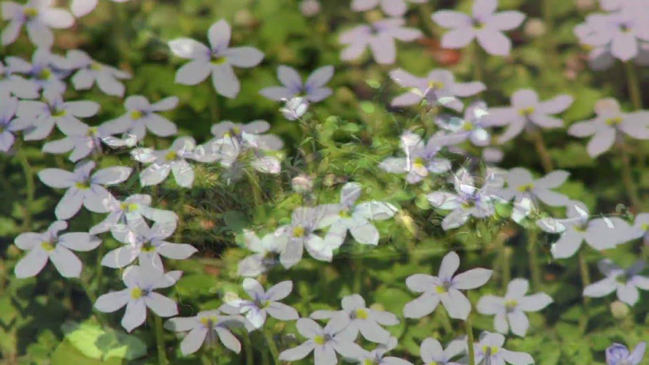 Gardening Tips & Flowers : How to Grow Blue Star Creeper (Pratia Angulata)