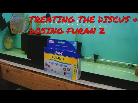 Treating The Discus; Dosing Furan 2; Female GBR Doesnt Look Too Good
