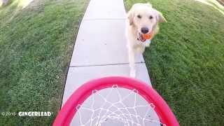 Golden Retriever Dunks Basketball