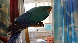 Попугай ара гуляет впервые после появления эклектуса