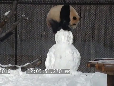 Raw: Panda Finds Snowman Playmate