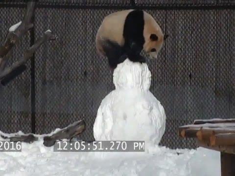 Raw: Panda Finds Snowman Playmate
