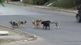 Vezi ce a pățit o haită de câini în călduri care a ocupat mijlocul străzii