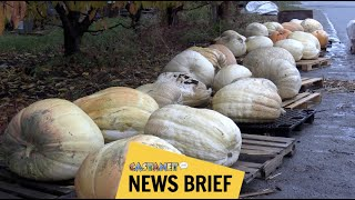 Now that's a giant pumpkin