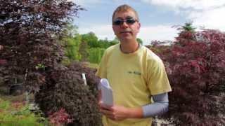 Japanese Maple Varieties - The Street Smart Gardener