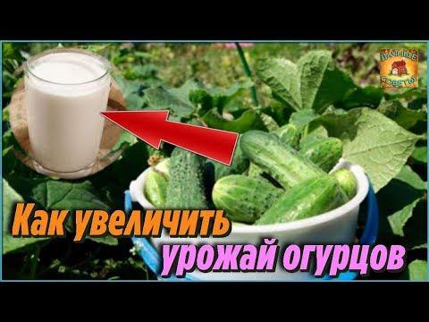 Вот как увеличить урожай огурцов. Супер простой и эффективный способ. Секрет высокого урожая