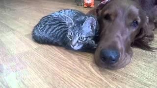 子猫の海ちゃんとアイリッシュセターのヴィッツくんのイチャイチャ動画。