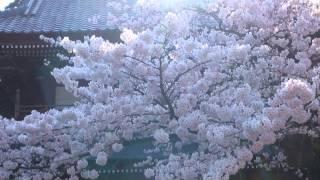 大栄寺の桜 (朝)