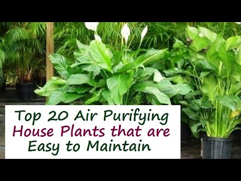 Top 20 indoor house plants for air purification youtube - Best plants for home ...