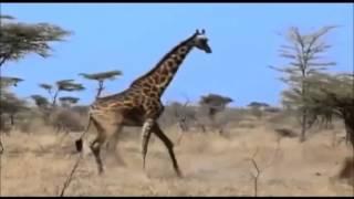 【驚きの結果】ライオンVSキリンの結果・・百獣の王はキリンです。 thumbnail