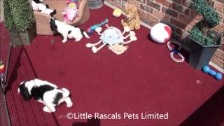 Little Rascals Cocker Spaniel Puppies