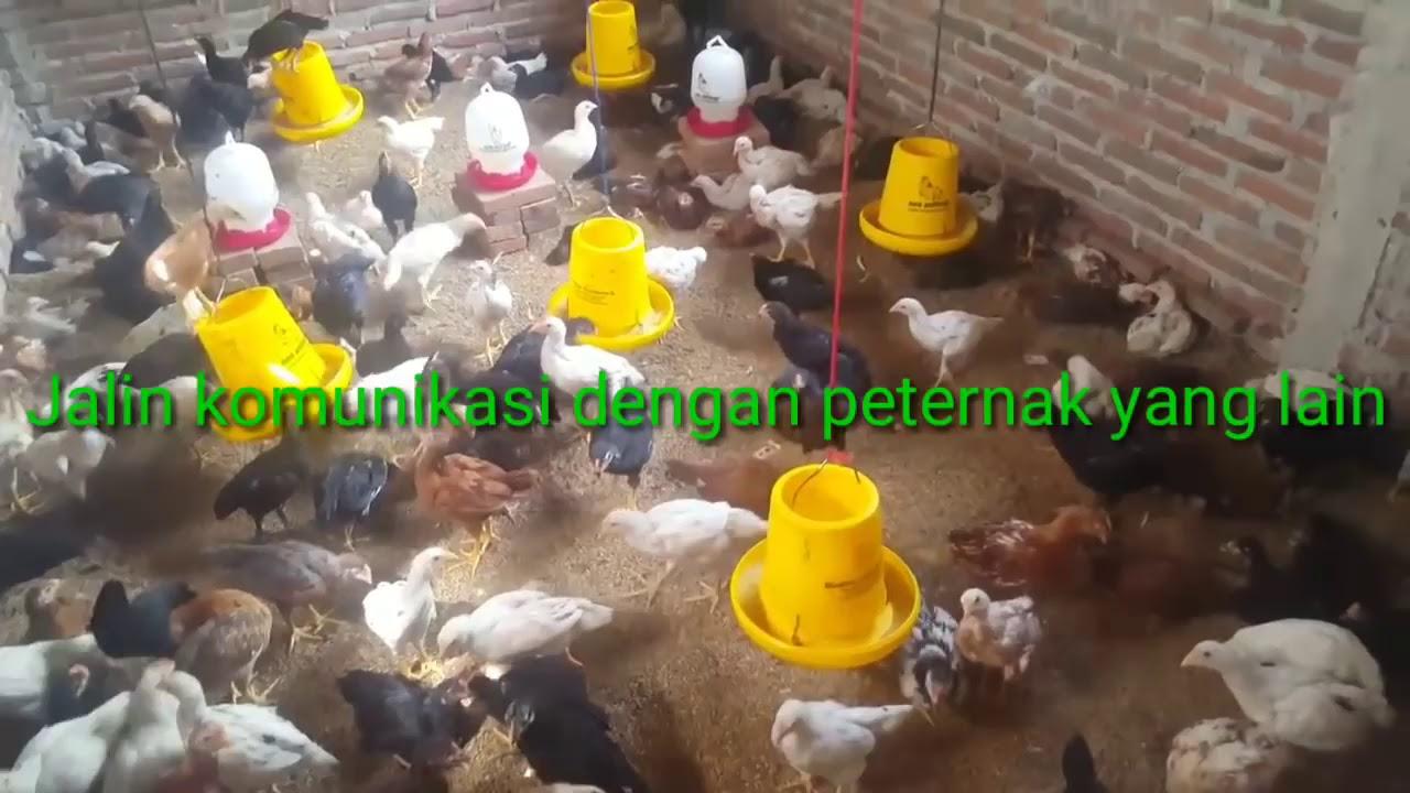 Tips sukses usaha ternak ayam kampung - YouTube