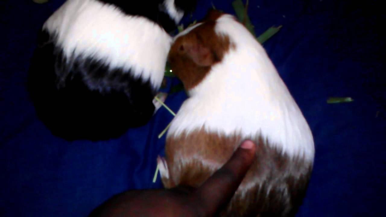 hight resolution of guinea pig pregnancy pelvic separation