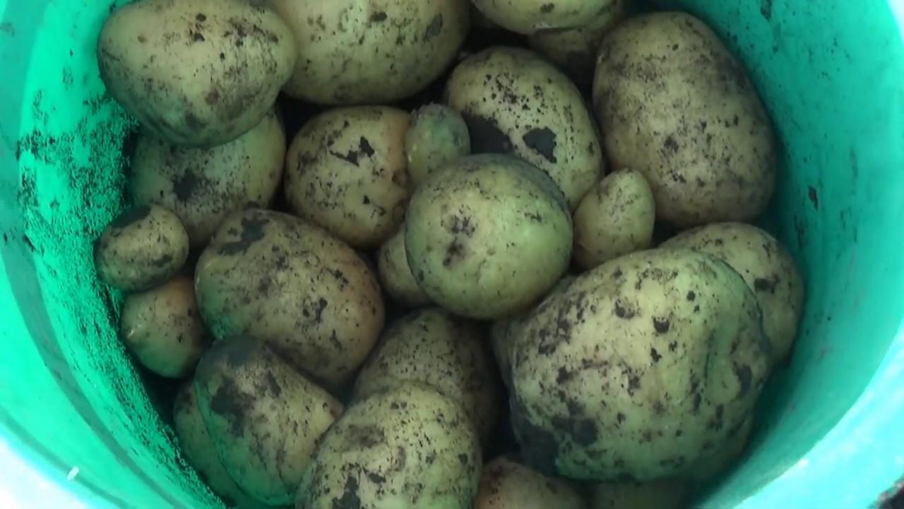 Первый урожай картошки и вечерние посиделки