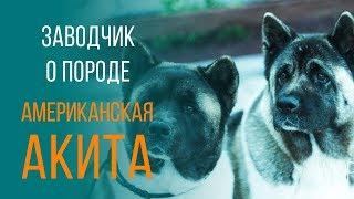 Порода собак - американская акита. Заводчик о породе.