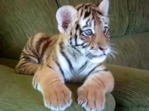 Tiger cub playing with a dog - II (Tigrinho brincando com cão)