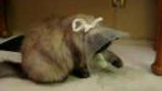 Himalayan Cat Gets used to 'econe' after surgery (conehead)