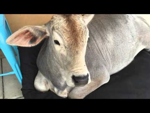 my pet cow Mad cow disease, otherwise known as bovine spongiform encephalopathy (bse), has been in the news in recent years if you feed your dog manufactured dog food, you might be worried about whether your dog can be affected by mad cow disease - wag.
