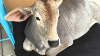 Cow Tries to Sleep on Dog Bed