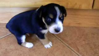 Our Little Puppy - 3 Weeks Old (jack Russel Terier X Miniature  Pinscher)