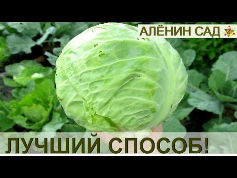 Как хранить раннюю капусту