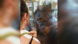 Orangutan Seems Fascinated By Woman's Bandages and Burn Scars