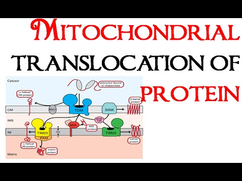 Mitochondrial translocation of proteins