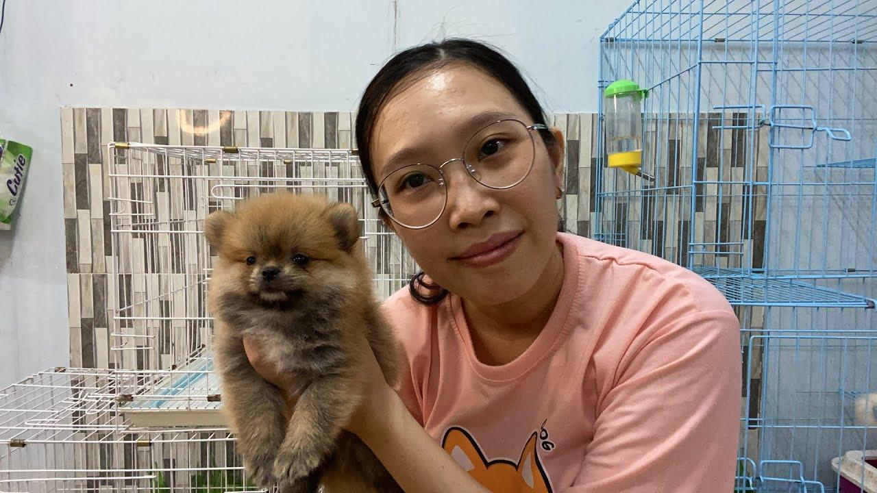 LiveStream Báo giá bầy chó Phốc Sóc Pomeranian @LoHa Pet Shop