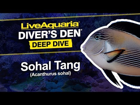 LiveAquaria® Diver's Den® Deep Dive: Sohal Tang (Acanthurus Sohal)