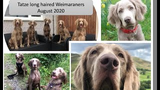 Weimaraners long haired dogs, August 2020. Weims beautiful breed of dog.